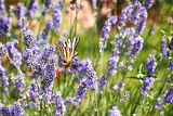 Photo beauty butterfly on lavender flower