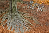 Fotografie big roots of a tree in fall colors