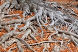 big roots of a tree in fall colors