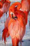 portrait of a caribbean flamingo