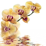 yellow orchid on white background with reflection