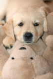golden retriever puppylying on the teddy bear