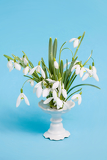 Fotografie flower snowdrops in vase on blue background