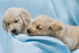 two small puppyl  golden retriver