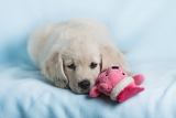 beautiful small puppy on blue background  golden retriever
