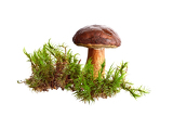 mushroom bay bolete boletus badius isolated on the white background