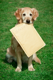 golden retriever  assistant of mailman