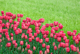 Fotografie bed reds tulips in the garden