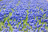 a bed of blue common hyacinths