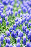Fotografie a flower bed of blue common grape hyacinths