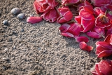 tulips on the sand with shells suitable as background for greeting card
