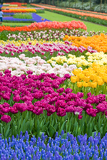 beautiful garden of colorful flowers in spring  keukenhof in the netherlands