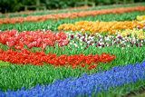 Fotografie flowerbed color tulips  flower in netherlands