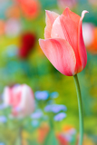 Fotografie detail beautiful tulip on color background