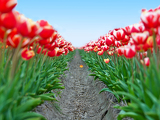 big field red white tulips in netherlands   shallow focus