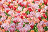 Fotografia close up view of the large number of colorful tulips