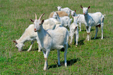 Fotografia goats on the goat farm