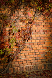 ivy on the brick wall