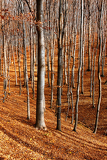colour beech forest in autumn