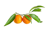 tangerines with leaves on a white background