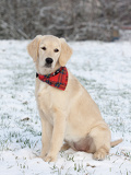 Fotografie golden retriever puppy in the snow