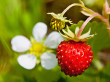Fotografie wild strawberries plant with green leaves