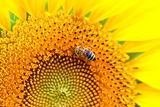 Fotografie macro picture of bee working on a sunflower