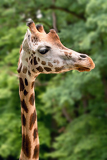 closeup of giraffes head in zoo prague  czech republic europe
