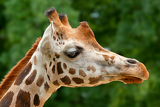 Photo closeup of giraffes head in zoo prague  czech republic europe