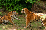 Fotografia two tigers on grass and in skirmish