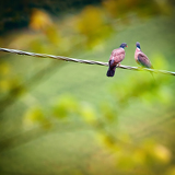 two pigeons sitting on wire