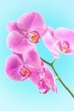 Fényképek beautiful pink orchid isolated on a blue  background