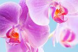 beautiful pink orchid isolated on a blue  background