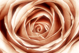 pink roses in sepia tone