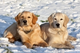 Fotografie two dogs golden retriever lying in the snow in winter