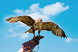 Fotografia portrait hawk on falconer gloves and blue sky