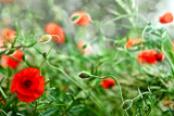 Fotografie wild poppies growing in a spring field