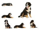 collage puppy bernese mountain dog  4 months berner sennenhund bernois