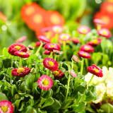 Bellis red potted spring flowers