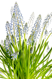 Fotografie Muscari blue spring flower potted plant