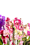 Fotografie Colorful Orchidaceae on white background