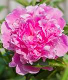 big pink peony flower in garden with shallow focus
