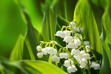 Fotografia blooming lily of the valley in spring garden with shallow focus