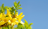 Fotografie blossoming forthysia in spring against blue sky and with space for text