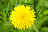 yellow dandelion on a blurry green background