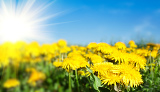 Fotografia field of spring flowers dandelions and perfect sunny day