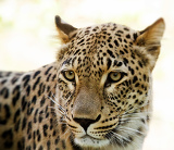 Fotografie closeup of leopard looks forward with shallow focus