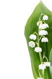 Fotografie blooming lily of the valley isolated on white