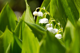 Fotografie blooming lily of the valley in spring garden with shallow focus