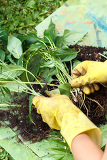 gardening with rubber yellow gloves detail of  replanting green plants